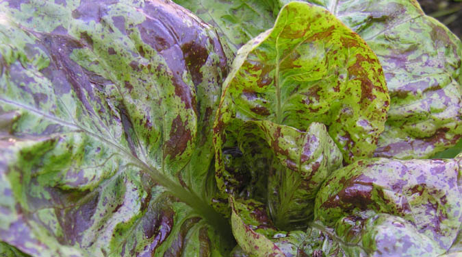 Freckled Roman Lettuce